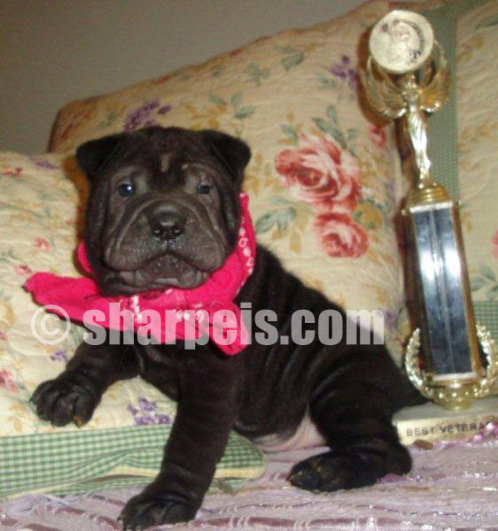 how to become a sharpei breeder